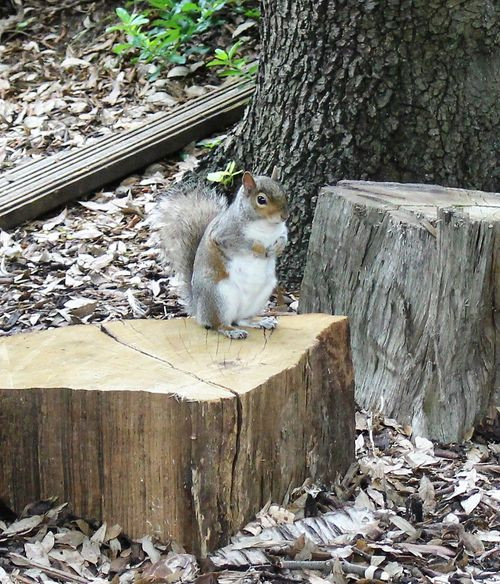 A squirrel sitting on a log in Hyde Park