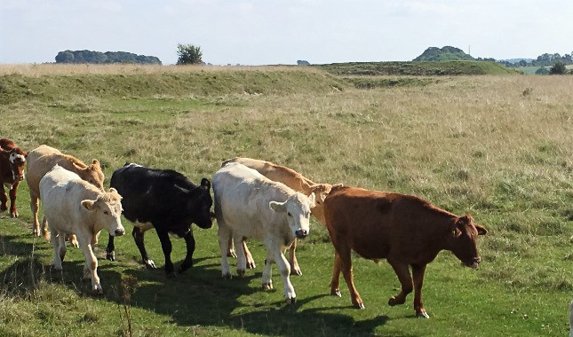A herd of cows at Figsbury Ring near Salisbury.