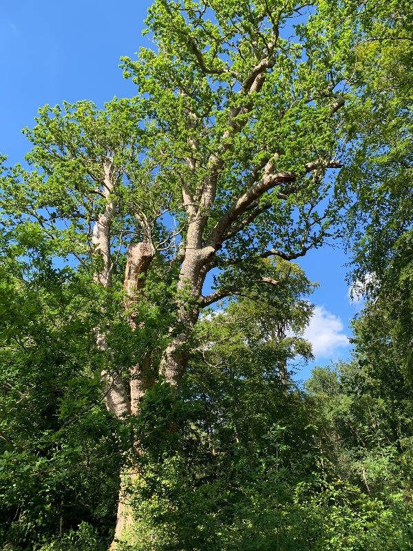 The top of the Knightwood Oak against a blue sky.