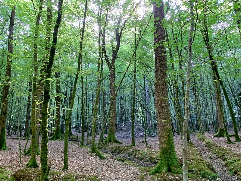 Densley packed forest around the Oak, with gullies in the ground.