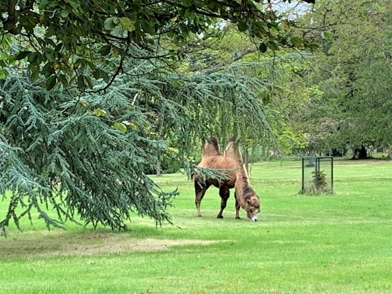 A camel grazing behind a cedar tree.