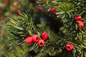 ancient-yew-tree-england.jpg