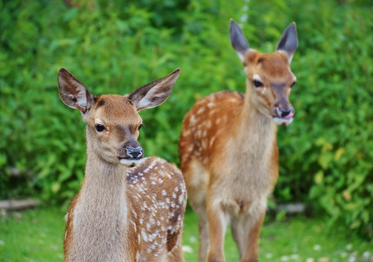 Two Roe deer standing in front of bushes