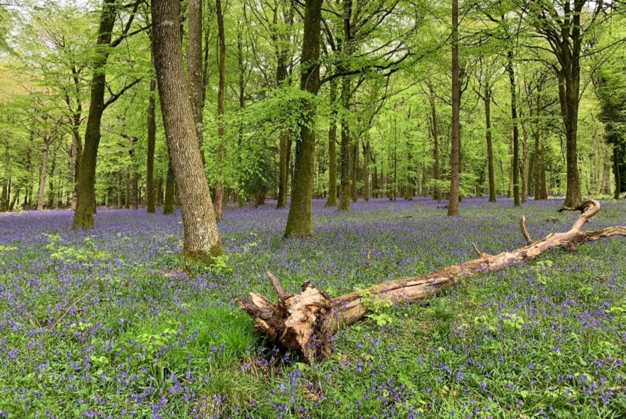 A bluebell wood in Grovely Woods