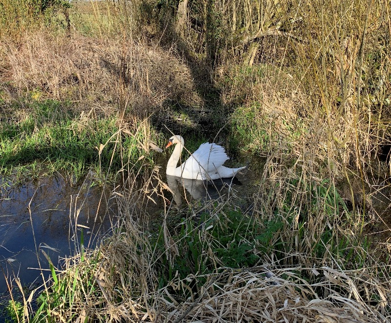 A swan in the River Avon