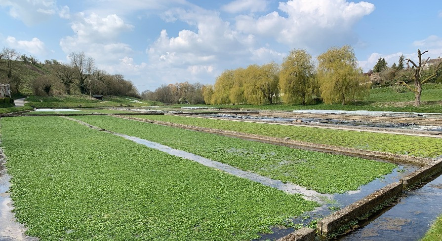 Watercress beds against a backdrop of tress