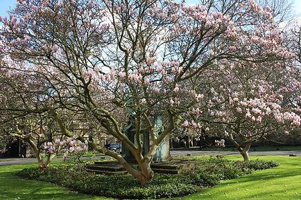 lambeth-palace-magnolia-tree.jpg