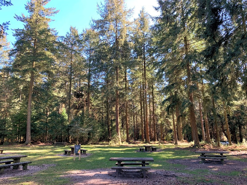 Wooden benches surrouded by tall pine trees