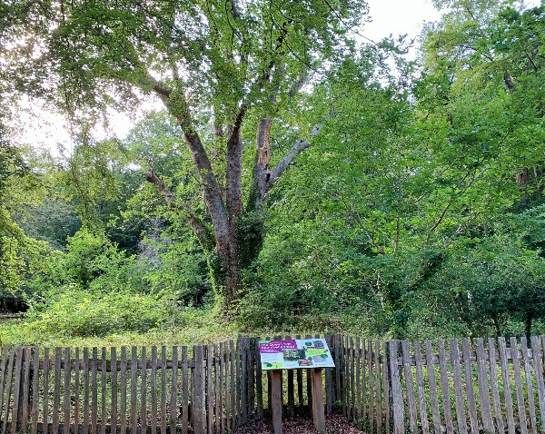 The oak fence surrounding the Kinightwood Oak and a visitors panel.