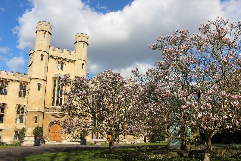 The magnolia trees in full bloom in front of Lambeth Palace.