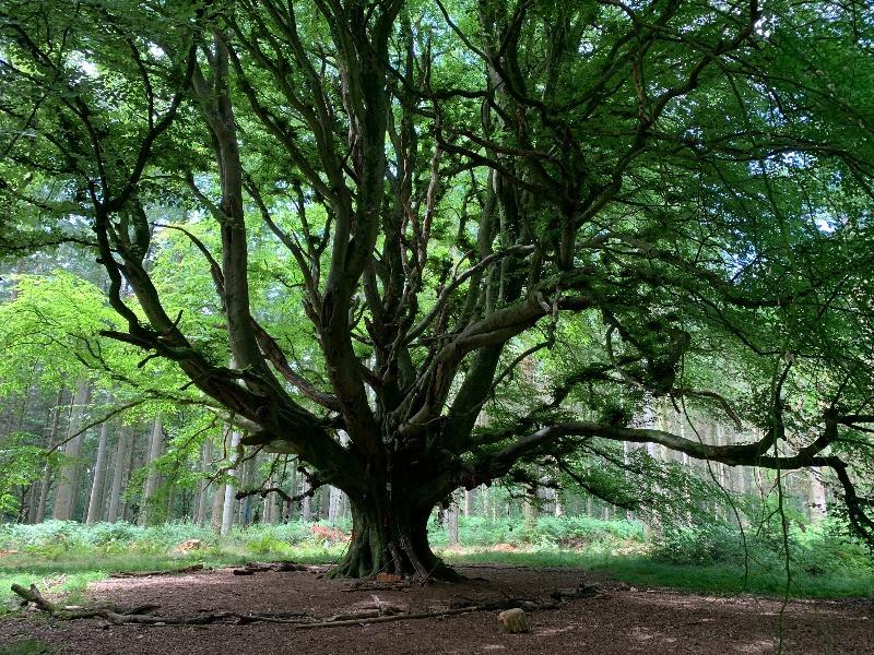A huge, dark beech tree in a wood.