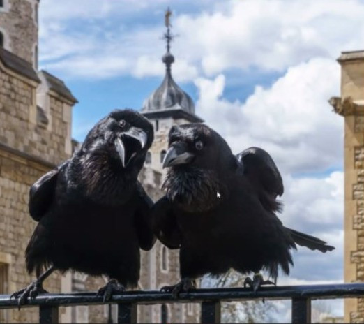 Two ravens sitting o a fence