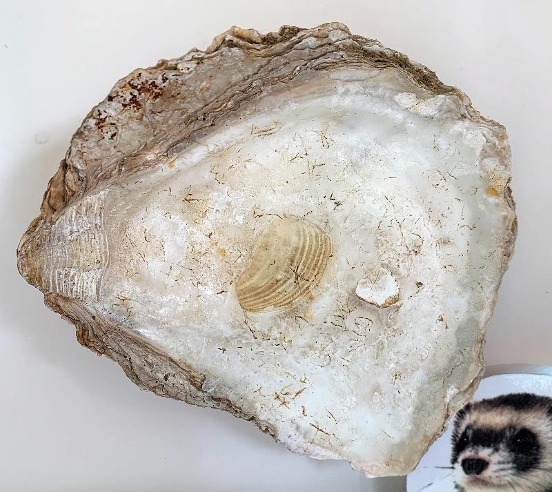 An oyster shell