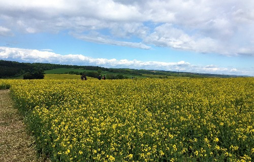 A field of yellow oilseed in the sunshine