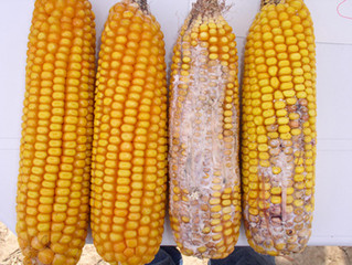Cancer-causing Chemicals in Fats and Oils: Aflatoxins & Benzo(a)pyrene