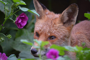 Fox photography 16.jpg