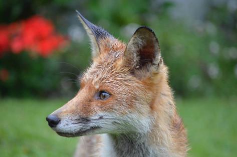 Fox photography 1.jpg