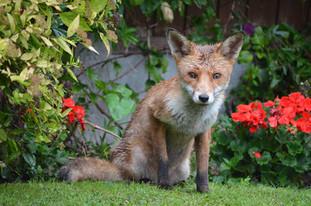 Fox photography 13.jpg