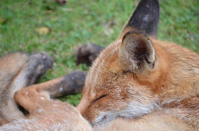 Fox photography 6.jpg