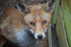 Fox photography 2.jpg