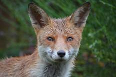 Fox photography 12.jpg