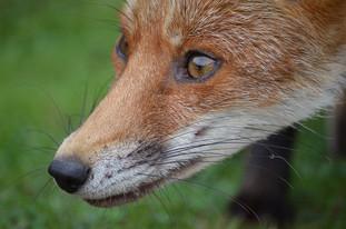 Fox photography 10.jpg