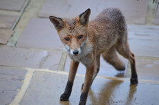 Fox photography 15.jpg