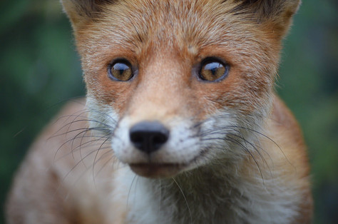 Fox photography 9.jpg