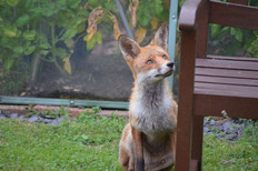 Fox photography 7.jpg