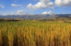 Campos quinua-617772722.jpg