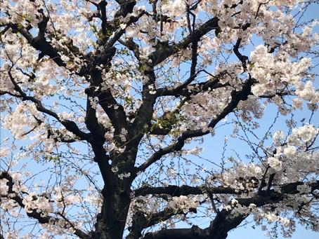 小学校入学の時に頂いた桜が大きくなりました🌸