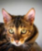 бенгальская кошка, мраморный бенгал
