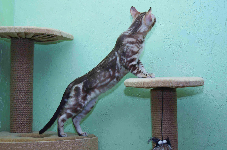 бенгальская кошка, снежный бенгал