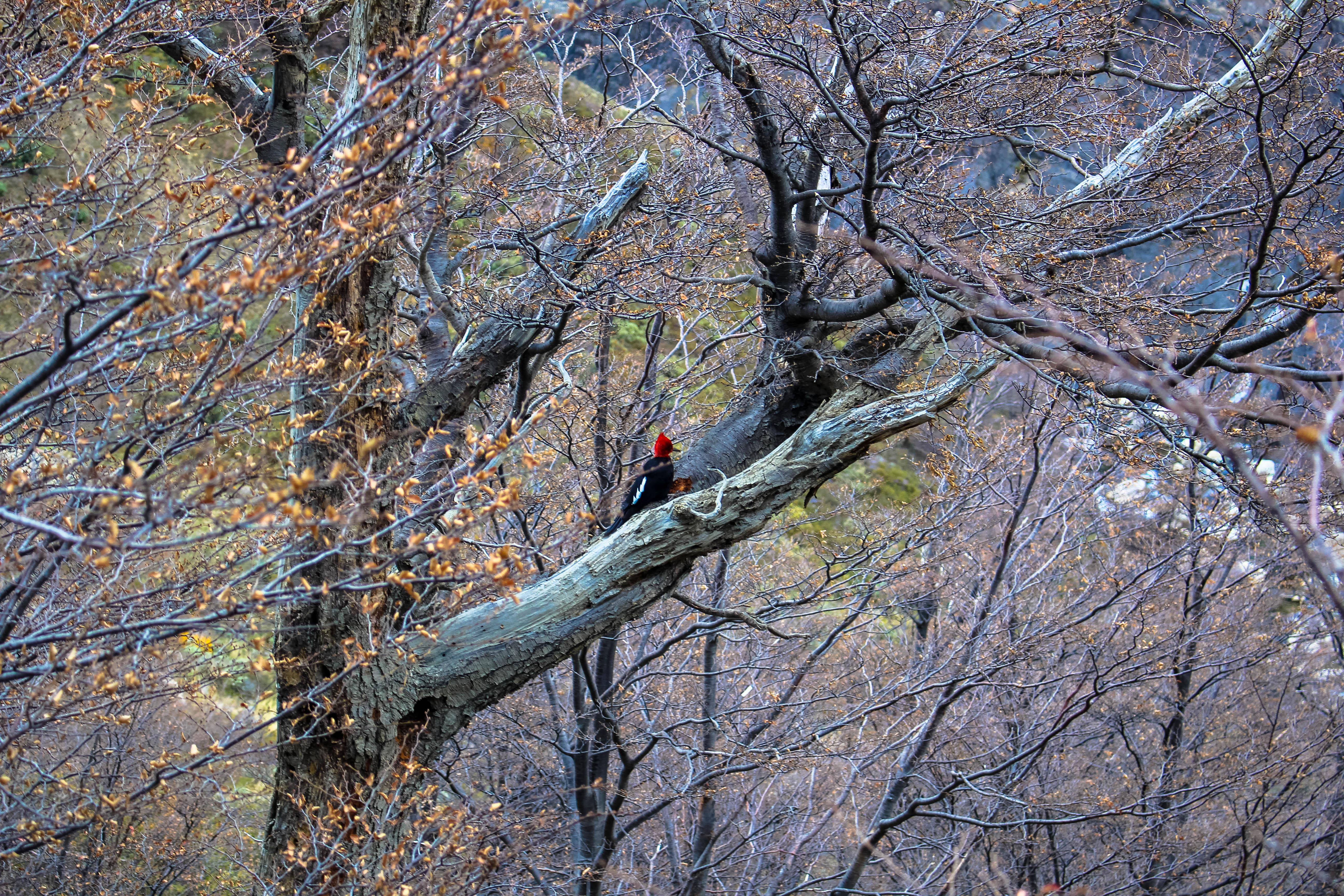 Wood Pecker Patagonia