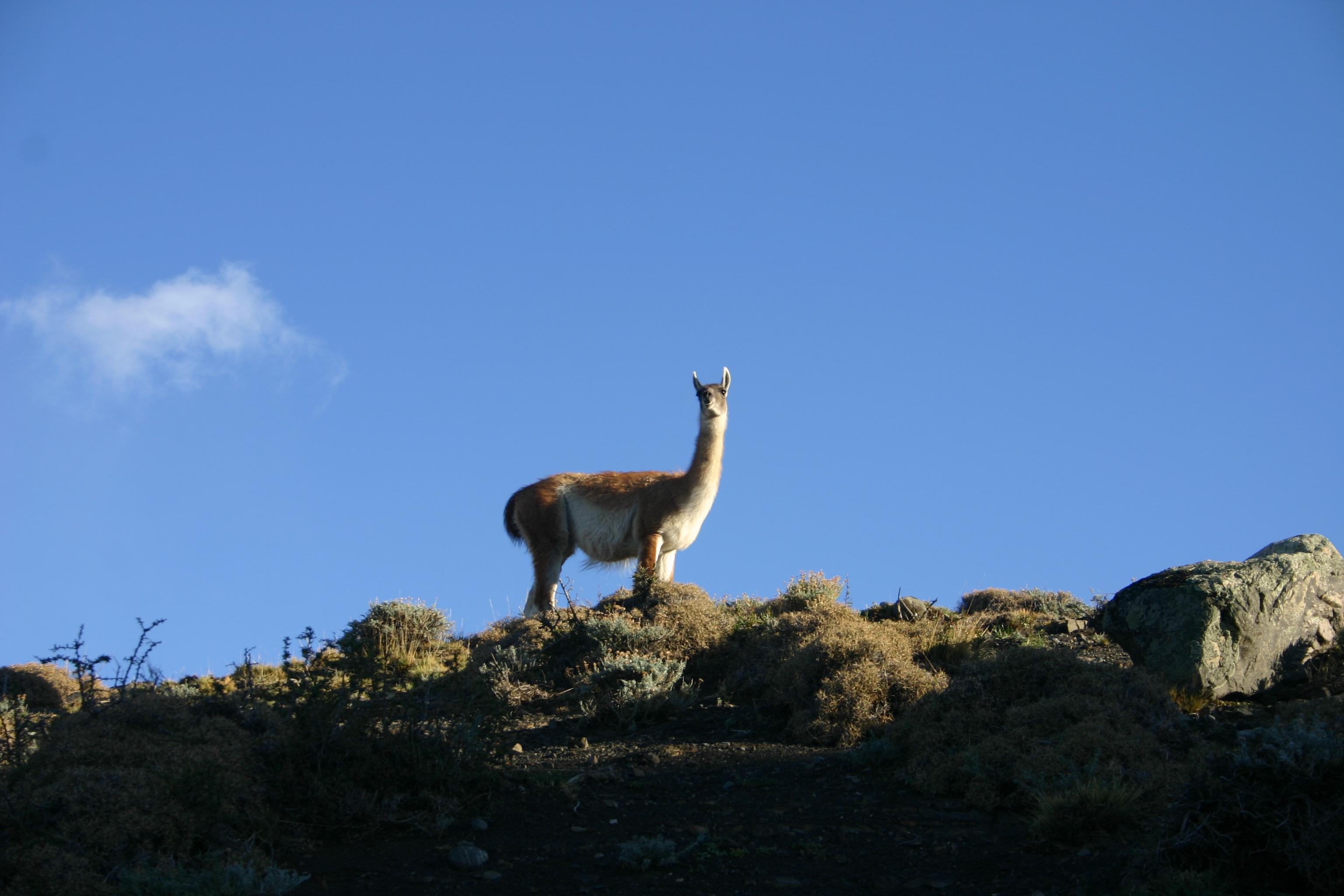 Guanaco Patagonia