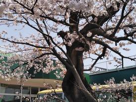木 木津幼稚園の桜もそろそろ満開です