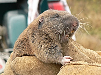 Mazama_pocket_gopher1.jpg
