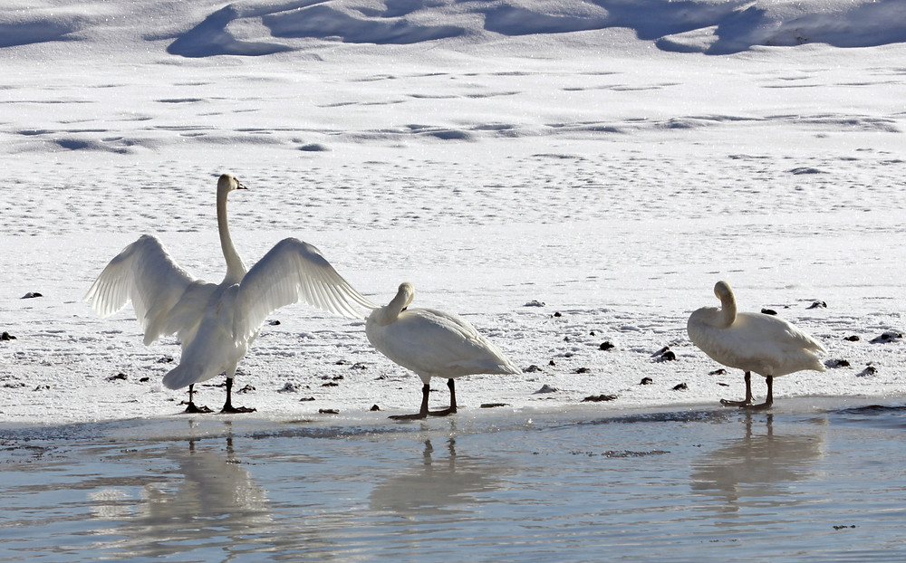 Trumpeter swans on the frozen side of the river, wings stretched wide