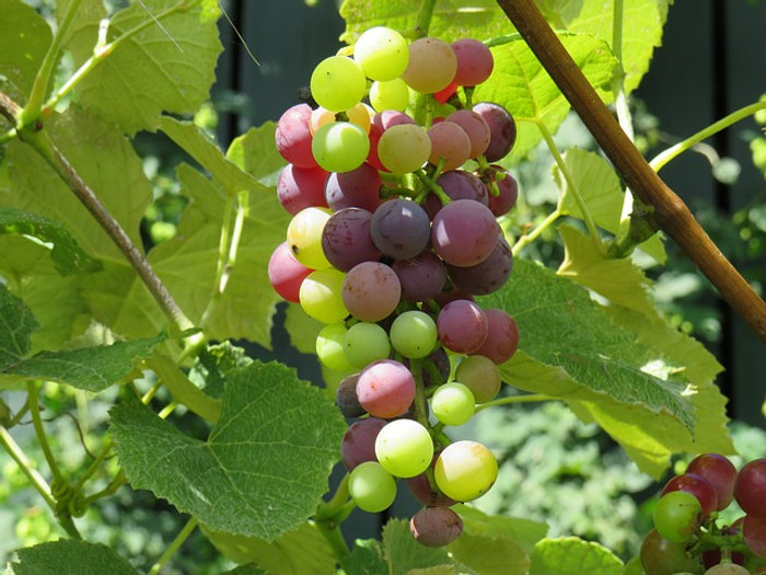 grape-1724044_640.jpg
