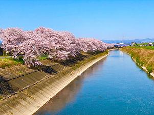 桜堤防.jpg