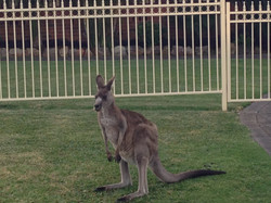 One of our kangaroo friends