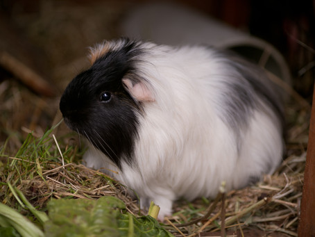 Guinea pigs, Chooks and a Cat Called Franklin