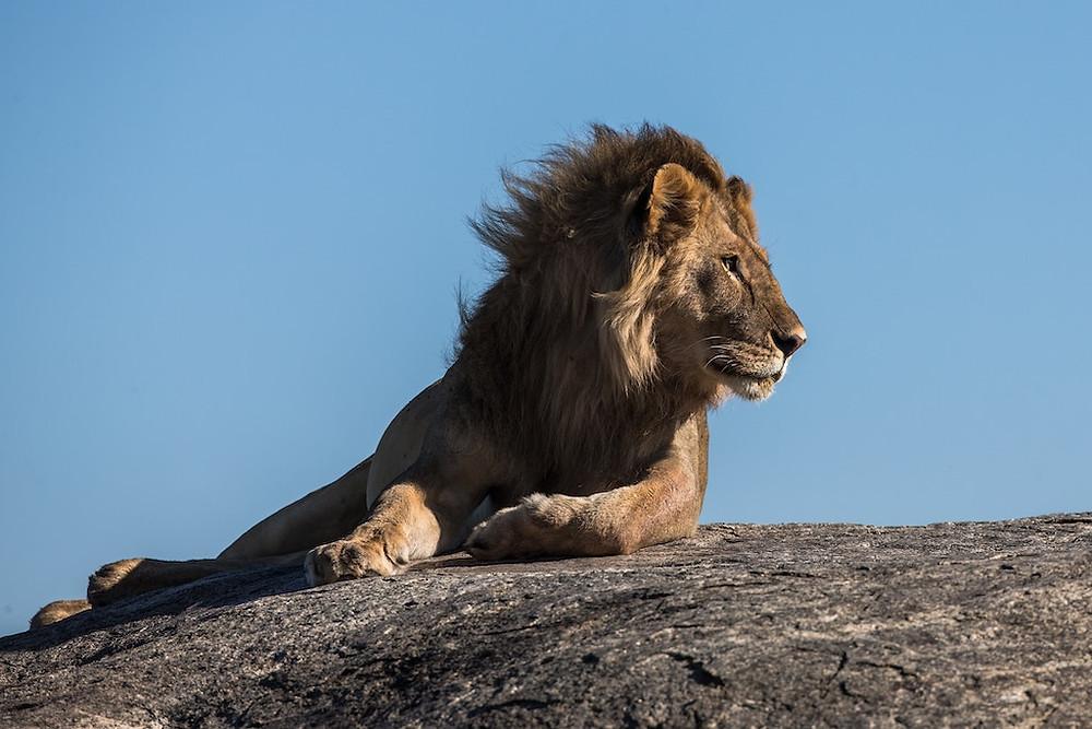 Leeuw op verwarde leeuwenrots. Jean Wimmerlin