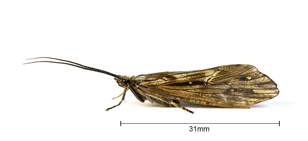 ♀ Phryganea Bipunctata