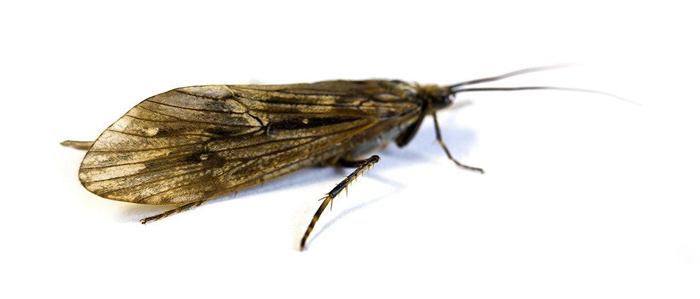 ♀ Phryganea Bipunctata - Malham Tarn