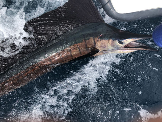 Sailfish in Papagayo Bay Fishing Playa del Coco