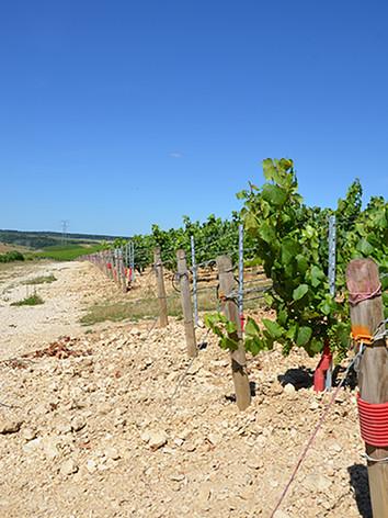 vigne-rangee-web.jpg