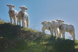 Lambs, Pine Mountain