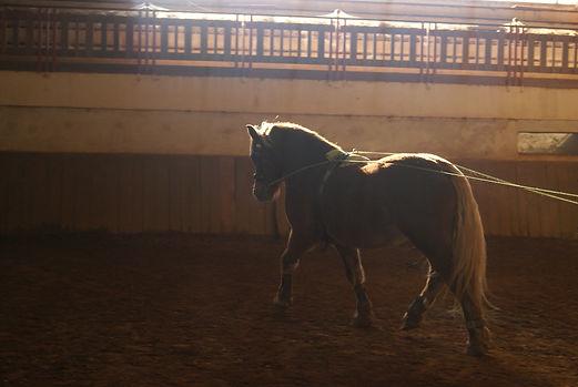 Traction et longue rene jeune cheval voltigao.JPG