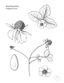 Wood Strawberry Botanical Sheet